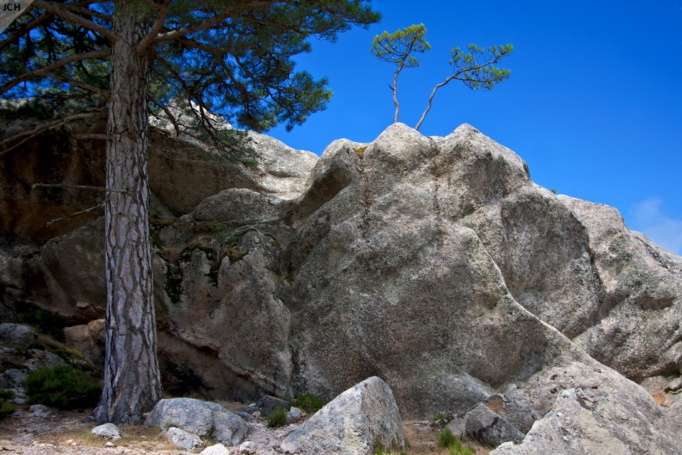 Borovice na Korsice